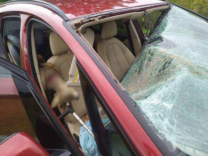 Niedaleko Legnicy pod koła samochodu wtargnęła sarna. Siła była tak duża, że zwierzę wpadło do…